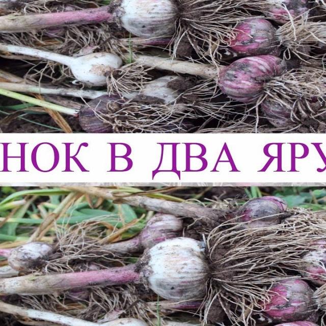 Юлия Минаева -  Чеснок в Два Яруса - Большой Урожай с Маленькой Грядки Результат Эксперимента