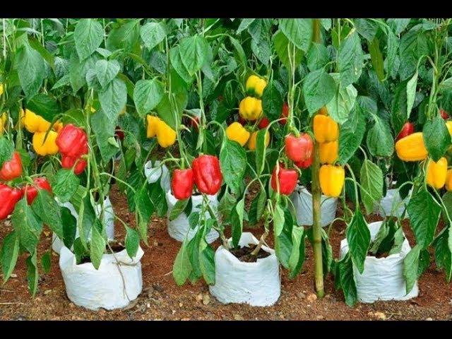 Урожайный огород ВСЕ В ШОКЕ!ПЕРЕЦ БУДЕТЕ СОБИРАТЬ ЯЩИКАМИ ЕСЛИ СДЕЛАЕТЕ ЭТО!!!