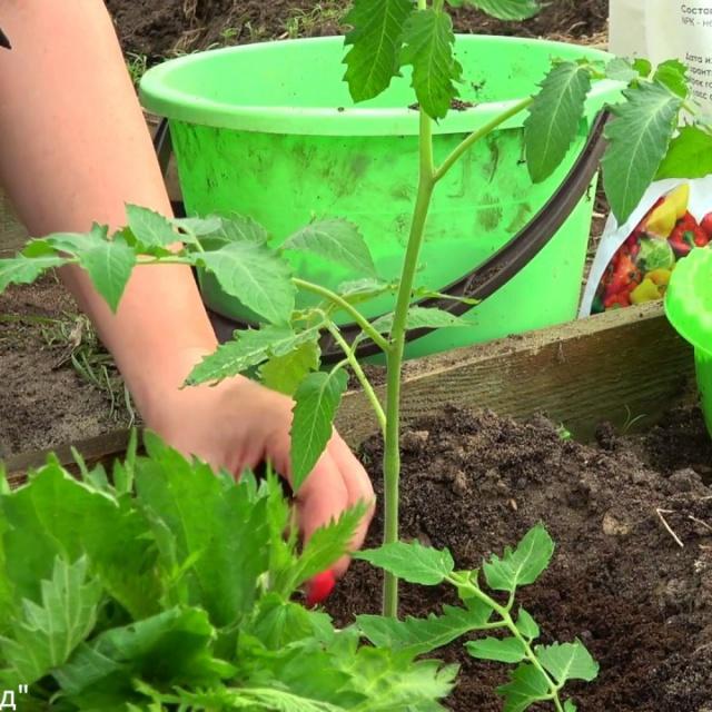 Сделайте это при посадке томатов бесплатное удобрение