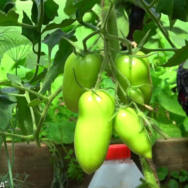 Урожайный огород ПОЛИВАЮ ТОМАТЫ ТОЛЬКО ТАК И ОНИ НИКОГДА НЕ БОЛЕЮТ!!!