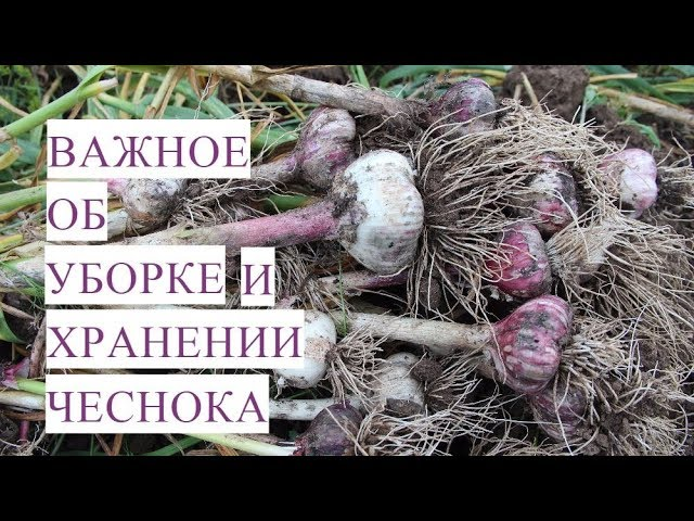 Юлия Минаева -  Важно Знать Когда Убирать Чеснок Как Хранить Чеснок