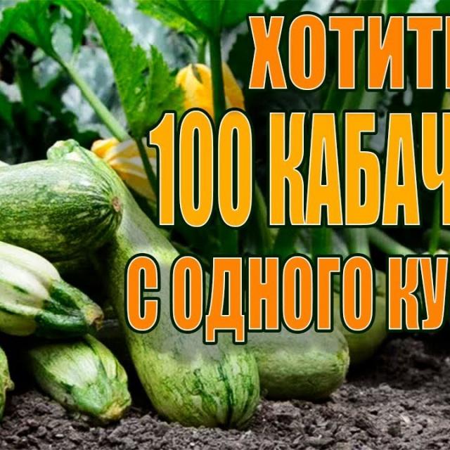 Урожайный огород 100 КАБАЧКОВ С ОДНОГО КУСТА ЕСЛИ СДЕЛАТЬ ЭТО!!!