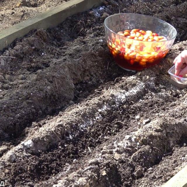 Урожайный огород Посадка лука весной | Выращивание лука