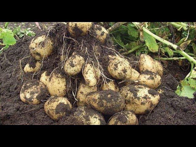 Урожайный огород КАРТОФЕЛЯ БУДЕТ МНОГО БЕЗ ОКУЧИВАНИЯ И ПОЛИВОВ!ЛЕНИВЫЙ СПОСОБ!!!
