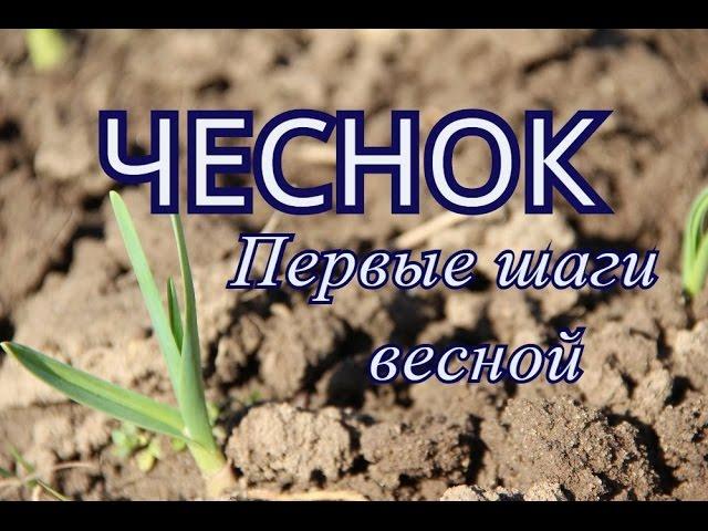 Юлия Минаева - Чеснок. Первые шаги весной.