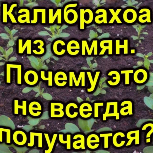 Сад Огород своими руками Калибрахоа из семян- главная причина,почему не всегда это получается?