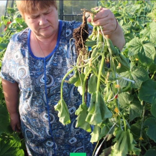 Юлия Минаева Вырвите Это Немедленно, Если Хотите Сберечь Урожай! Прикорневая Гниль.