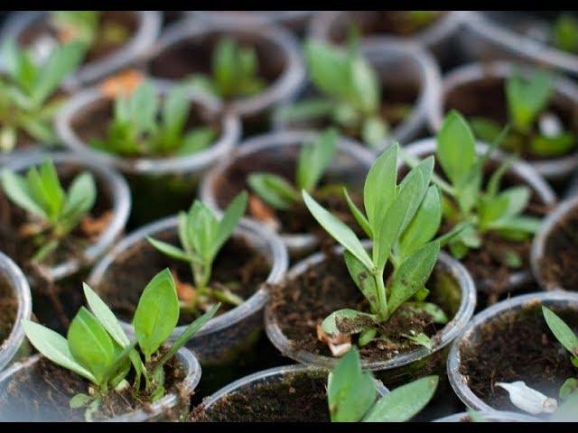 ПЕРВЫЕ ШАГИ ПРИ ВЫРАЩИВАНИИ ЭУСТОМЫ   Урожайный Огород
