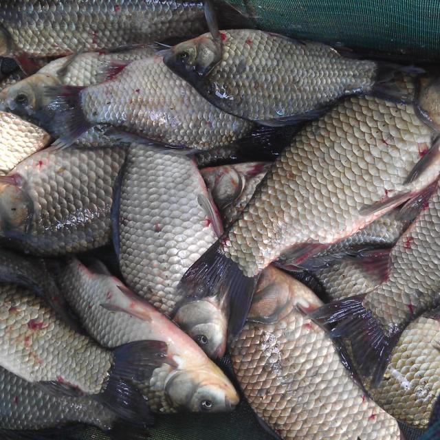 Рыбалка Ловля крупного карася на макушатник