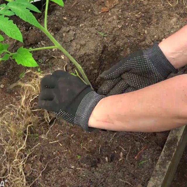 Сделайте это при посадке томатов и подкормки будут не нужны