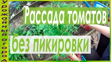 Урожайный огород Посадка томатов выращенных без пикировки