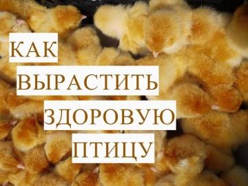 Юлия Минаева Как Вырастить Здоровую Птицу Цыплята Индюшата
