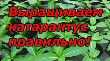 Сад Огород своими руками Катарантус - рассаде 2 месяца после посева, что делать?