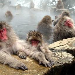 Парк Джигокудани Япония: Снежные обезьяны купаются в термальном источнике