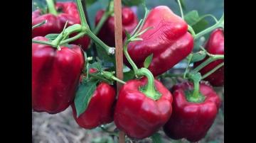 Урожайный огород Как ускорить созревание перца