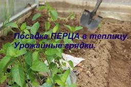 Юлия Минаева -  Посадка перца в теплицу.Урожайные грядки.