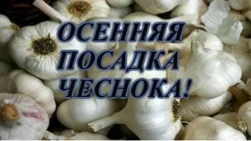 Сад Огород своими руками ПОСАДКА ОЗИМОГО ЧЕСНОКА ОСЕНЬЮ.