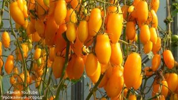 """Урожайный красивый томат """"банановые ноги"""""""