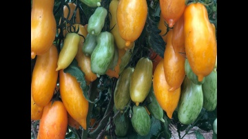 Урожайный огород Скоро все смогут купить семена Томата Банановые Ноги
