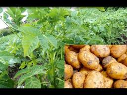 Юлия Минаева -  Как Вырастить Богатый Урожай Картофеля.