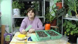 Юлия Минаева - Почему же эти семена так хорошо всходят??!
