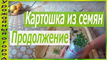 """Урожайный огород ВТОРОЕ """"ОКУЧИВАНИЕ """"СЕМЯН КАРТОФЕЛЯ!"""
