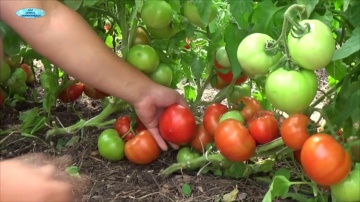Сад Огород своими руками Посев хороших низкорослых томатов. Сорта, гибриды, ГМО - в чём разница?