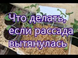 Юлия Минаева -  Вытянулась рассада огурцов/тыквы/кабачков.Что делать.(04.05.2016)