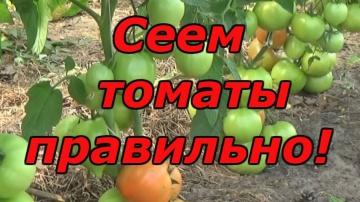Сад Огород своими руками ВЫСОКОРОСЛЫЕ ПОМИДОРЫ - ПОСЕВ ОТЛИЧНЫХ 3-Х СОРТОВ В КАССЕТУ!