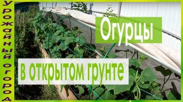 Урожайный огород ВЫРАЩИВАНИЕ ОГУРЦОВ В ОТКРЫТОМ ГРУНТЕ!!! ТЕПЛАЯ ГРЯДКА-КОРОБ!!!