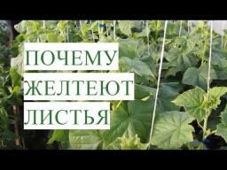 Юлия Минаева -  Желтеют Листья Огурцов. Причины и Эффективное Решение Проблемы.
