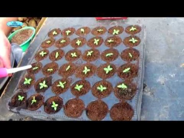 Сад Огород своими руками ЭУСТОМА - 6 недель после посева, что нужно сделать. Как вырастить красивую