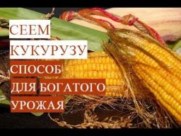 Юлия Минаева\Посадка Кукурузы Проверенный Способ для Богатого Урожая