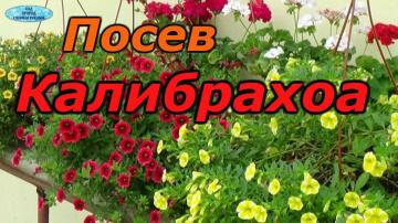 КАЛИБРАХОА- ПРАВИЛЬНЫЙ ПОСЕВ СЕМЯН. Сорт Каблум.