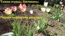 Ольга Уголок -  Дела дачные. Сею огурцы. Первая подкормка для перцев и томатов.