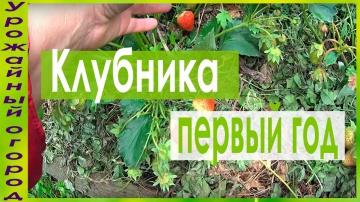 Урожайный огород ОТБОРНЫЕ КУСТЫ КЛУБНИКИ В ПЕРВЫЙ ГОД ПЛОДОНОШЕНИЯ!