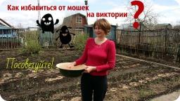 Ольга Уголок -  И снова дача. Как избавиться от мошки на виктории??? Подвязывание малины.