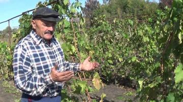 Сад Огород своими руками Обзор сорта винограда Байконур. Продолжение.