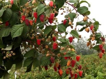 Сад Огород своими руками Правильная посадка малины осенью. Сорт Таруса.