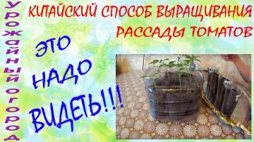 Урожайный огород КИТАЙСКИЙ СПОСОБ ВЫРАЩИВАНИЯ РАССАДЫ ТОМАТОВ