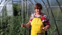 Юлия Минаева - Болезни помидоров. Фитофтора на помидорах. Как бороться с фитофторой.