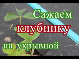 Юлия Минаева -  Посадка клубники осенью.