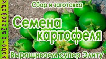 Урожайный огород КАК СОБРАТЬ И ЗАГОТОВИТЬ СЕМЕНА КАРТОФЕЛЯ!ОЧЕНЬ ПРОСТОЙ СПОСОБ!