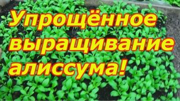 Сад Огород своими руками Алиссум - как можно легко вырастить рассаду алиссума!