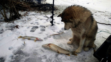 Рыбалка с Джесси - это что-то!))) Зимняя рыбалка на жерлицы в декабре 2018. Сезон 2018-2019