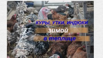 Юлия Минаева Куры, утки, индюки зимой в теплице. Советы по содержанию.