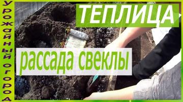 Урожайный огород ПОСАДКА РАССАДЫ СВЕКЛЫ,ВЫРАЩЕННОЙ БЕЗ ЗЕМЛИ!!