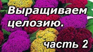 Сад Огород своими руками Целозия - как вырастить качественную рассаду целозии! Фильм 2.
