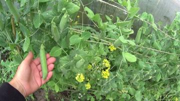 Урожайный огород ЗЕЛЕНЫЙ ГОРОШЕК!!!КАК СОБРАТЬ СЕМЕНА ДЛЯ ПОСАДКИ!!!