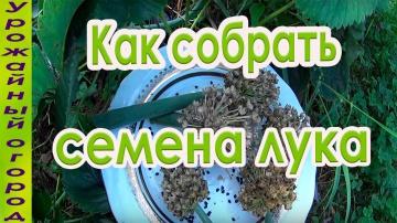 Урожайный огород КАК СОБРАТЬ СВОИ СЕМЕНА ЛУКА!!!